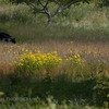 Black Bear in the Field. Image taken on Nickerson Hill in Clifton, Maine.