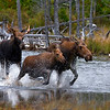 Moose family races at Stump Pond..