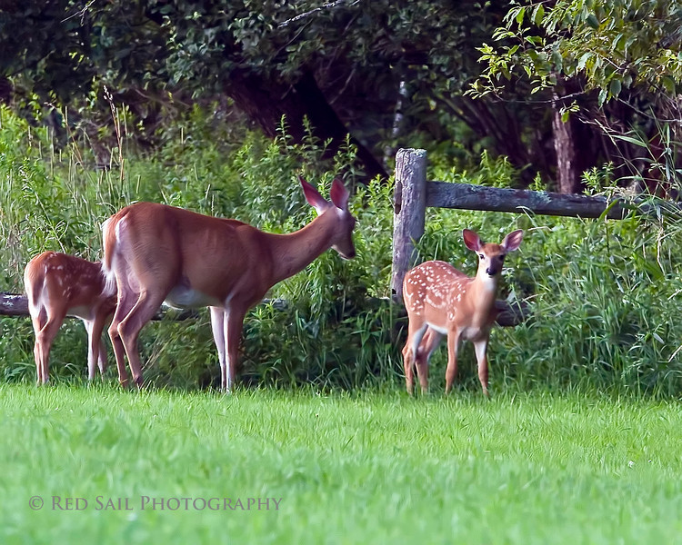 I'm always excited to see a doe with her fawns. I only had a brief moment to stop my car and get this image before they returned to the forest. Taken off Rt 9 near Clifton, Maine.