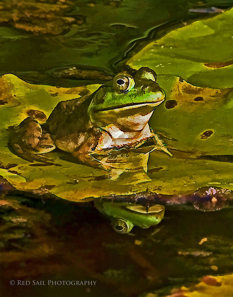 Green Frog at Fields Pond. Artisitic design filters applied.