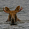 Yes, moose can swim.