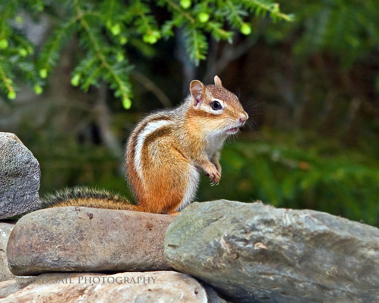 Chipmunk on our rock wall waiting for me to leave so he can raid the bird feeder.