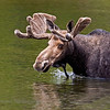 Bull Moose in Sandy Stream Pond.