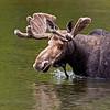 Bull Moose in Sandy Stream Pond.