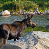 Young bull moose feeding at Stump Pond.