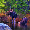 Bull Moose and Cow. Artistic Design-Oil. Original image taken at Sandy Stream Pond at the foot of Mt. Katahdin, Maine