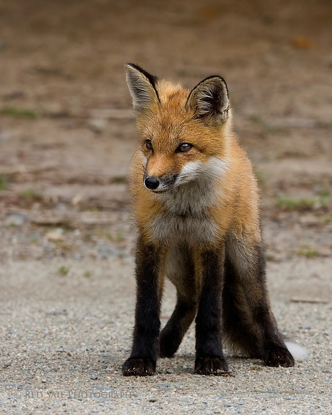 Intense Look... This Red Fox watches a perceived threat. Image taken in the North Woods wilderness area of Maine.