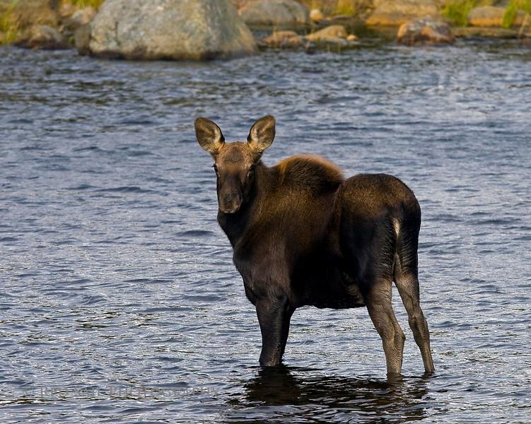 Moose, calf in Sandy Stream Pond.