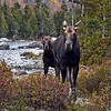 Moose, cow and calf at Sandy Stream Pond.
