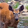 Deer at Sandy Stream Pond. I was set up to take pictures of moose and this deer was walking along the edge of the pond to my right. I rotated my camera around and stayed still as she walked towards me. Finally she turned and went into the forest. She was about 25 feet away.