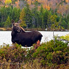 Moose, first year calf at Sandy Stream Pond.