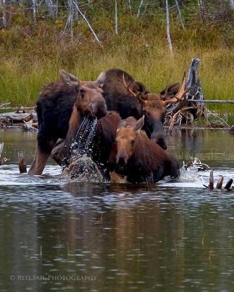 Moose family..