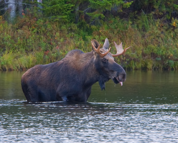 Bull Moose, a typical rut pose.
