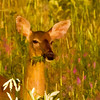 Doe enjoying breakfest at Fields Pond in Holden, Maine.