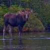 Bull moose at Sandy Stream Pond.