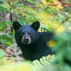 Maine Black Bear..