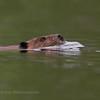 Beaver on Parks Pond..
