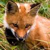 Red Fox pose close up.