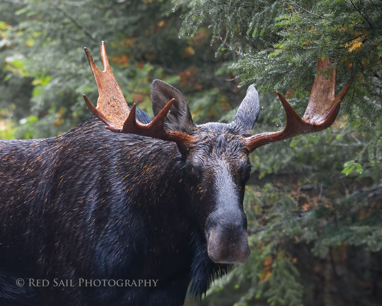 OK Big Boy..  Whats on your mind. Came face to face when this bull moose stepped in front of me. It was late and raining and I was about to head back and suddenly this!!  We spent a few moments together in the forest before he went on his way...