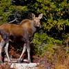 Young moose at Sandy Stream pond.