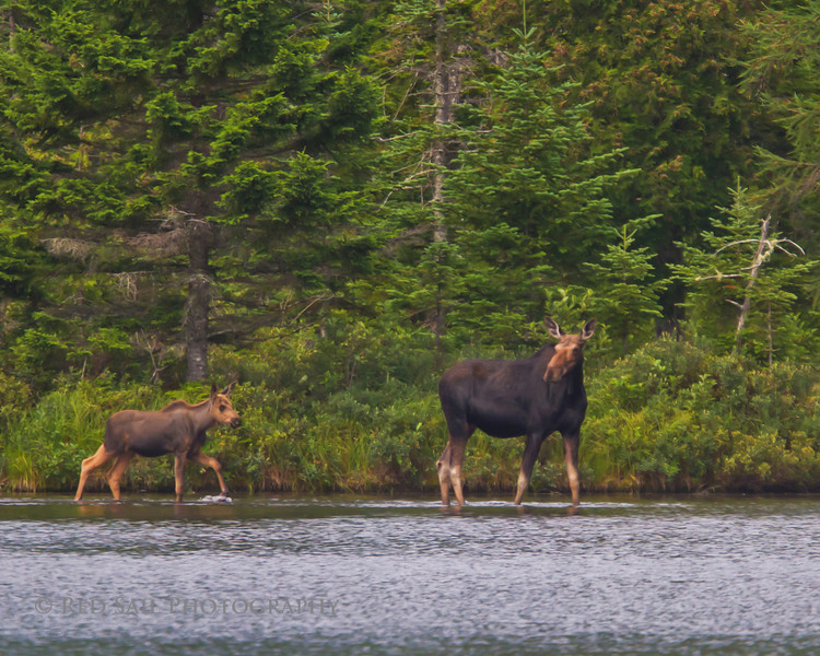 Moose, cow and calf.