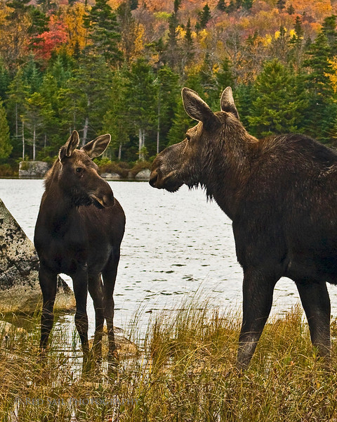 Moose, cow and calf at Sandy Stream Pond in Baxter State Park, Maine.