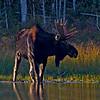 Bull moose..