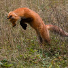 Red Fox Pounce..