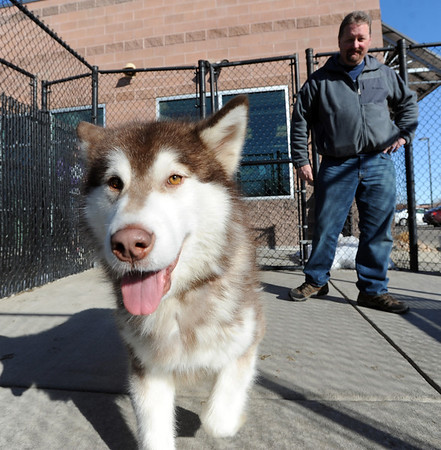 """Fenway spends some time with potential owner, Tim Evanston, on Wednesday.<br />  Nine malamute dogs have been rescued from unsafe conditions in Montana, and they are now undergoing socialization and behavioral training at the Boulder Valley Humane Society.<br />  For  a video and more photos of the dogs, go to  <a href=""""http://www.dailycamera.com"""">http://www.dailycamera.com</a>. <br />  Cliff Grassmick  / February 27, 2013"""