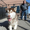 "Fenway spends some time with potential owner, Tim Evanston, on Wednesday.<br />  Nine malamute dogs have been rescued from unsafe conditions in Montana, and they are now undergoing socialization and behavioral training at the Boulder Valley Humane Society.<br />  For  a video and more photos of the dogs, go to  <a href=""http://www.dailycamera.com"">http://www.dailycamera.com</a>. <br />  Cliff Grassmick  / February 27, 2013"