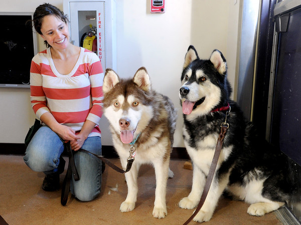 "Amy Creaven introduces Cheeto and Libby to the Boulder Valley Humane Society building. <br /> Nine malamute dogs have been rescued from unsafe conditions in Montana, and they are now undergoing socialization and behavioral training at the Boulder Valley Humane Society.<br />  For  a video and more photos of the dogs, go to  <a href=""http://www.dailycamera.com"">http://www.dailycamera.com</a>. <br />  Cliff Grassmick  / February 27, 2013"