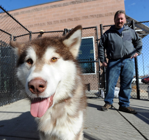 """Fenway spends some time with potential owner, Tim Evanston, on Wednesday. <br /> Nine malamute dogs have been rescued from unsafe conditions in Montana, and they are now undergoing socialization and behavioral training at the Boulder Valley Humane Society.<br />  For  a video and more photos of the dogs, go to  <a href=""""http://www.dailycamera.com"""">http://www.dailycamera.com</a>. <br />  Cliff Grassmick  / February 27, 2013"""