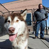 "Fenway spends some time with potential owner, Tim Evanston, on Wednesday. <br /> Nine malamute dogs have been rescued from unsafe conditions in Montana, and they are now undergoing socialization and behavioral training at the Boulder Valley Humane Society.<br />  For  a video and more photos of the dogs, go to  <a href=""http://www.dailycamera.com"">http://www.dailycamera.com</a>. <br />  Cliff Grassmick  / February 27, 2013"