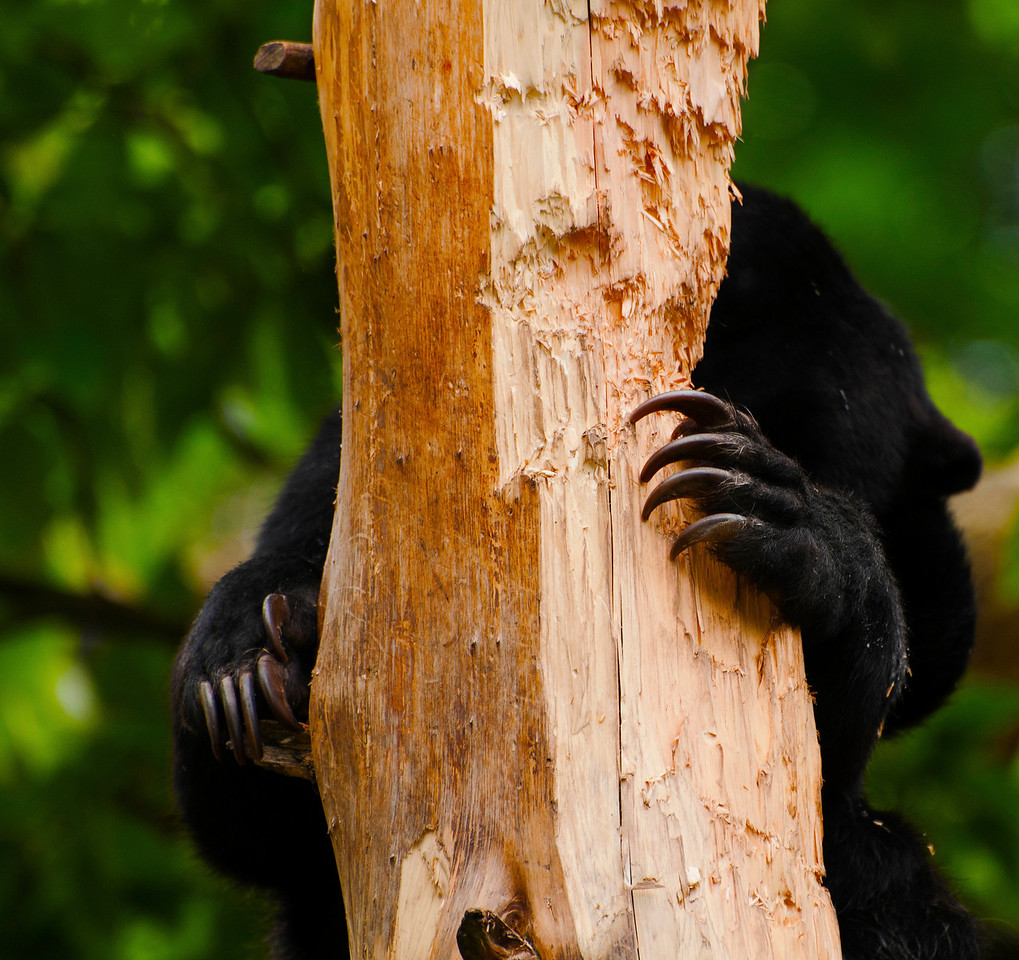 Malayan Sun Bear