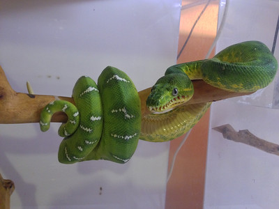Male Northern Emerald Tree Boa