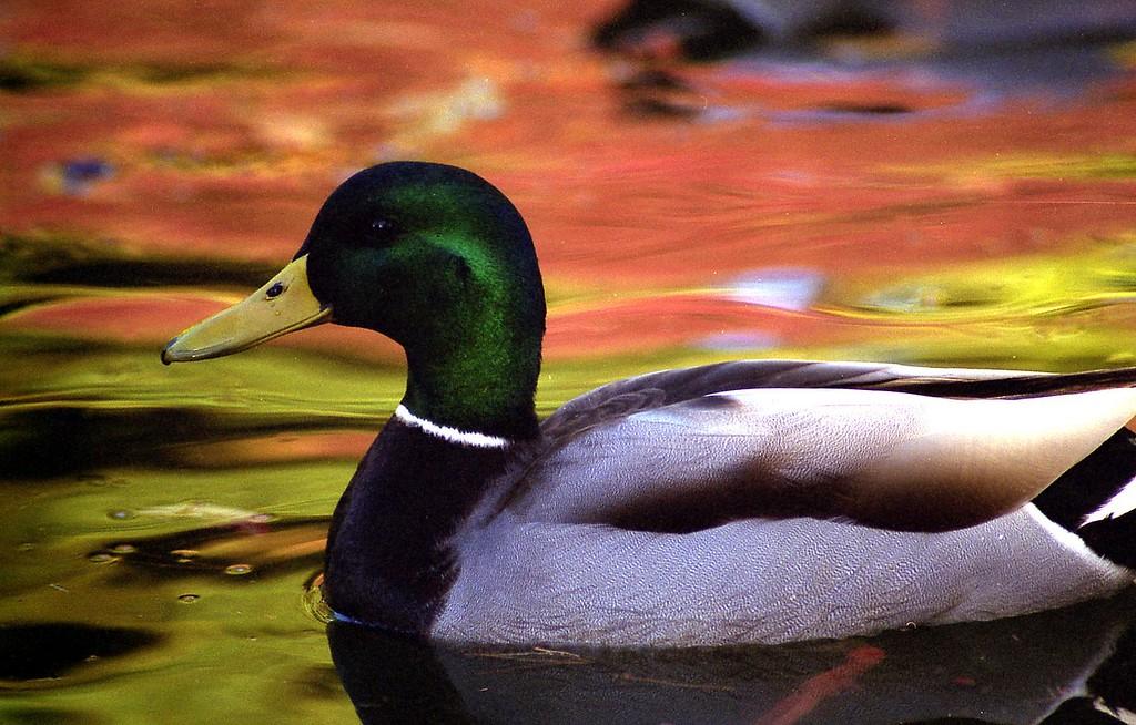 Photo of Mallard taken at Kaibara Park in Kent.