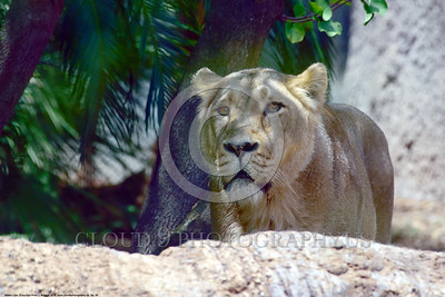 Asiatic Lion 00020 An adult female Asiatic lion standing in the shade, wildIife picture of an adult male Asiatic lion, by Peter J  Mancus