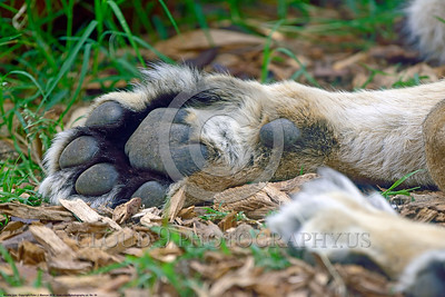 Asiatic Lion 00024 Close up of the right front paw of an adult male Asiatic lion, wildlife picture by Peter J  Mancus