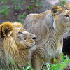 Asiatic Lion 00014 Portrait of an adult male and female pair of Asiatic lions, wildIife picture of an adult male Asiatic lion, by Peter J  Mancus