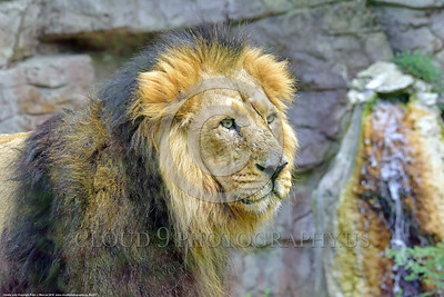 Asiatic Lion 00001 Portrait of an adult male Asiatic lion before a small waterfall wildlife picture by Peter J  Mancus