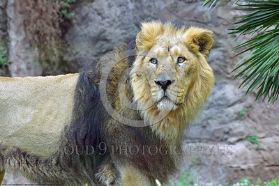 Asiatic Lion 00002 Portrait of an adult male Asiastic lion, which is an endangered subspecies found in India, wildIife picture by Peter J  Mancus