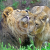Asiatic Lion 00007 A pair of adult male and female Asiatic lions manifest affection, wildIife picture by Peter J  Mancus