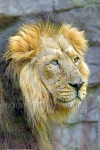 Asiatic Lion 00019 Portrait of an adult male Asiatic lion before a small waterfall wildlife picture by Peter J  Mancus