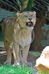 Asiatic Lion 00011 A standing adult female Asiatic lion shows her fangs while standing in shade, wildIife picture of an adult male Asiatic lion, by Peter J  Mancus