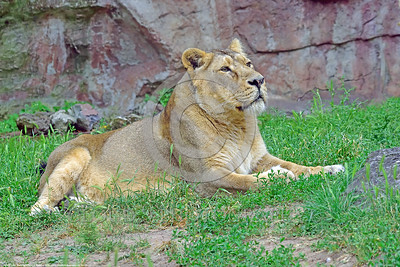 Asiatic Lion 00028 Portrait of a relaxed adult female Asiatic lion wildlife picture by Peter J  Mancus