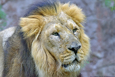 Asiatic Lion 00027 Portrait of an adult male Asiatic lion wildlife picture by Peter J  Mancus