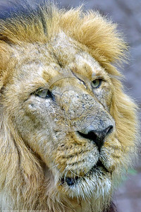 Asiatic Lion 00030 Portrait of an adult male Asiatic lion wildlife picture by Peter J  Mancus