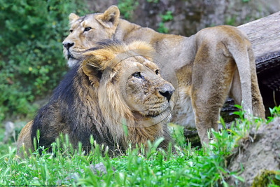 Asiatic Lion 00003 A pair of Asiatic lions found in India, which are smaller than African lions, wildIife picture by Peter J  Mancus