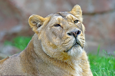Asiatic Lion 00025  Portrait of an adult female Asiatic lion wildlife picture by Peter J  Mancus