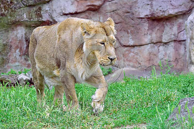 Asiatic Lion 00021 A walking adult female Asiatic lion wildlife picture by Peter J  Mancus